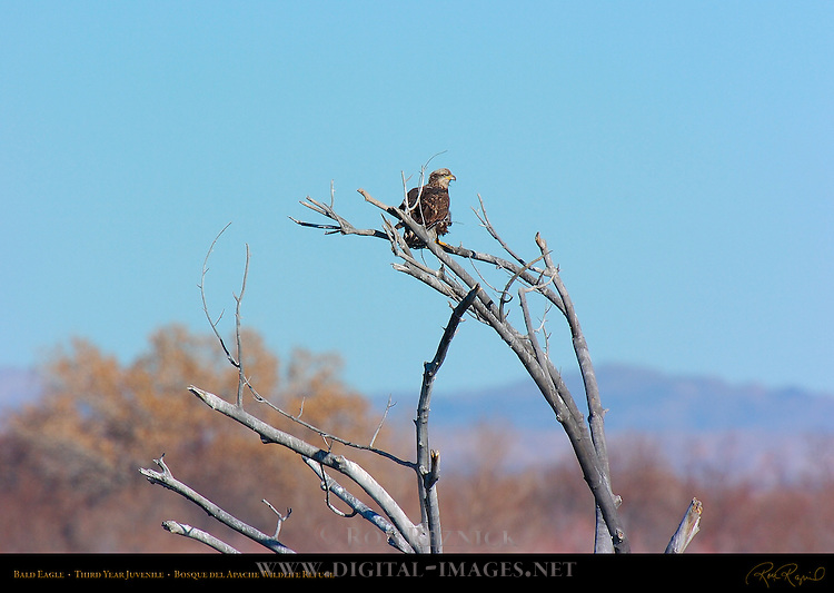 Bald Eagle 3rd year Juvenile, Bosque del Apache Wildlife Refuge, New Mexico