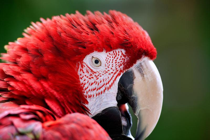 Green Winged Macaw. Grand Hyatt. Kauai, Hawaii.