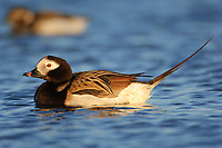 Adult male Long-tailed Duck (Clangula hyemalis) in breeding plumage on a tundra pond. Barrow, Alaska. June.