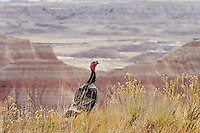 Wild Turkey (Meleagris gallopavo) gpbbler in South Dakota badlands.  Spring..