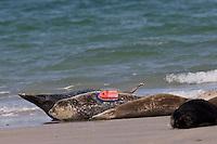 Kegelrobbe, Kegel-Robbe, Kegel - Robbe, mit Sender zur Erforschung, Wissenschaft, Halichoerus grypus, Grey Seal, Phoque gris