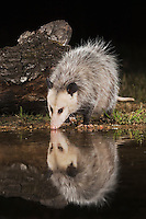 Virginia Opossum, Didelphis virginiana, adult at night drinking, Uvalde County, Hill Country, Texas, USA, April 2006