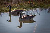 Two Canada geese and their reflections, floating in San Leandro Bay along the MLK Regional Shoreline.