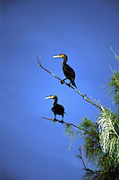 Two Cormorants, Phalacrocorax auritus, sitting on a branch in Florida.