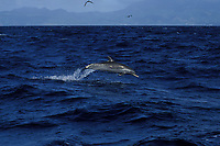 pan-tropical spotted dolphin, Stenella attenuata, Dominica, West Indies (Eastern Caribbean Sea), Atlantic