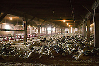 Ducks that have not yet reached the force-feeding stage mature in a hangar at the Hudson Valley Foie Gras farm in Ferndale, USA, 16 March 2006.