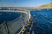 Northern Bluefin tuna, Thunnus thynnus, are raised in floating aquaculture pens, then harvested for export to Japan, Mexico