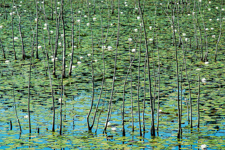 Water lilly bog, Pine Barrens, New Jersey, USA