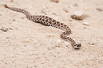 San Diego, California; a juvenile Western Rattlesnake stretched across a dirt path with a recent meal enlarging its midsection