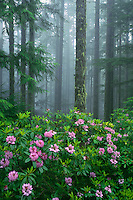 Western rhododendron on Mt. Walker<br />