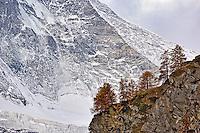 European Larch (Larix decidua) trees at base of the Matterhorn, Zermatt, Switzerland