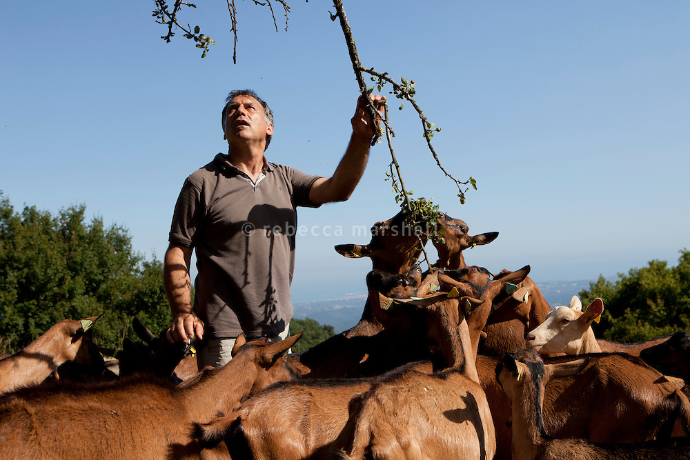 Bruno Gabelier pulls branches down from trees to feed his goats at La Domaine des Courmettes, above the village of Tourrettes-Sur-Loup in the Alpes Maritimes, France, 02 August 2013. His goats are Alpine Chamoisée, a breed originating from the Alps.