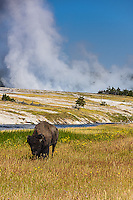 The epitome of Nature's power- a Bison stands near one of  the geyser basins in Yellowstone National Park, Wyoming.