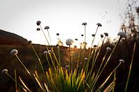 Nova Lima_MG, Brasil...Estacao Ecologica de Fechos em Nova Lima, Minas Gerais. Na foto Sempre-vivas (Paepalanthus Speciosus)...Fechos Ecological Station in Nova Lima, Minas Gerais. In this photo Sempre-vivas (Paepalanthus Speciosus)..Foto: BRUNO MAGALHAES / NITRO.