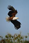African Fish-Eagle, Amboseli National Park, Kenya