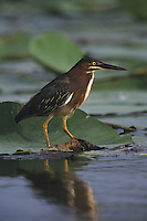 Green Heron (Butorides virescens), adult walking on lily pads  American Lotus (Nelumbo lutea), Sinton, Coastel Bend, Texas, USA