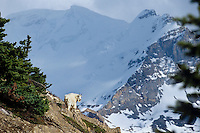 Moutain Goat billy (Oreamnos americanus) high on a hillside in the Northern Rockies.  Fall.