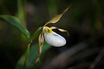 The Ladyslipper is an Orchid that grows wild in western Montana forests