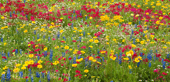 Spring wildflowers put forth brilliant color displays in spring in 980000002 panoramic field of wildflowers with brilliant red drummonds phlox phlox drummondii and other wildflowers including mightylinksfo Image collections