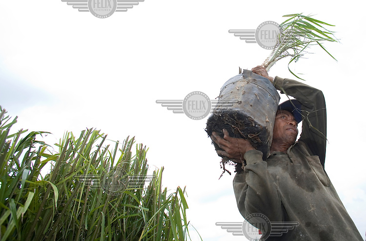 A worker carries a young palm oil plant that will be replanted in a field, freshly cleared of primary forest in the ever-expanding Duta Palma plantation.
