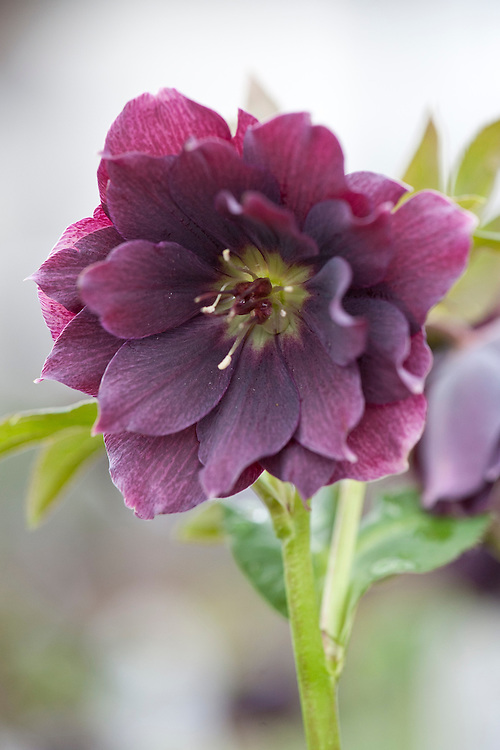 Hellebore (Helleborus hybridus 'Harvington Double Purple'), mid March.