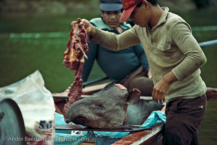 Poachers salting the meat of a recently killed Brazilian Tapir (Tapirus terrestris) along the upper Tambopata River, lowland tropical rainforest,  Bahuaja-Sonene National Park, Puno, Peru