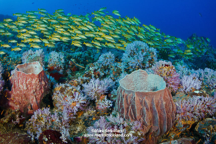 A dense school of Bluestripe Snapper, Lutjanus kasmira, hover over pastel soft corals and barrel sponges at Fish Rock, Andaman Islands, India, Andaman Sea