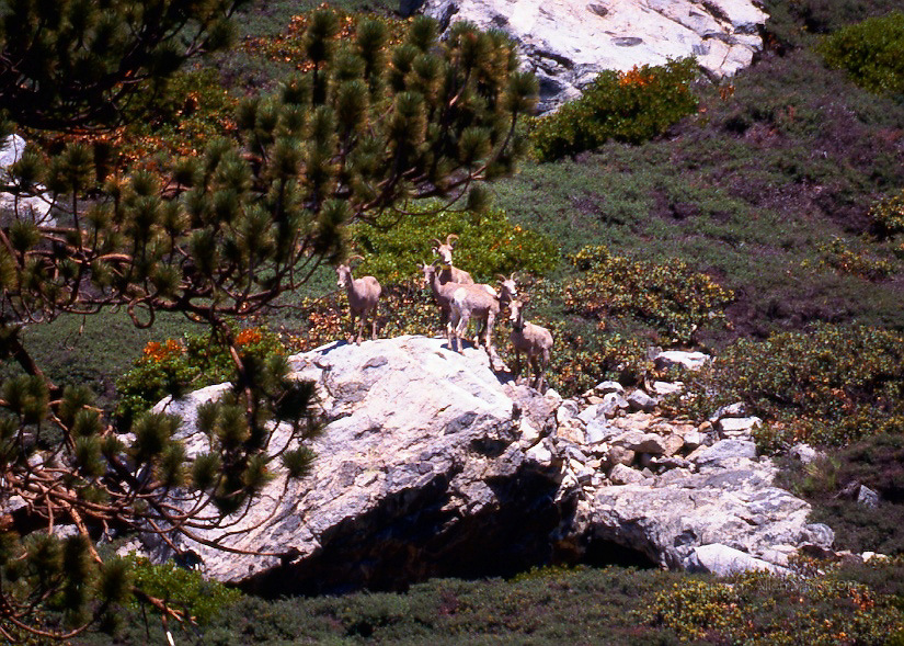 NELSON BIGHORN EWES<br /> SAN GORGONIO WILDERNESS<br /> AIRPLANE SPRINGS, CALIFORNIA