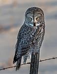 Great gray owl (Strix nebulosa), Canada