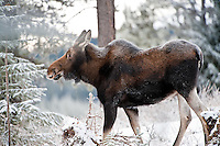 Moose, Jasper National Prk, Canada