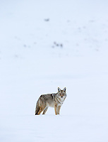 Coyotes are a common sight during winter visits to Yellowstone.