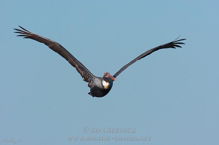 Brown Pelican in Flight at Sunrise, Eastern Brown Pelican, Pelecanus occidentalis carolinensis, Sanibel Island, Florida