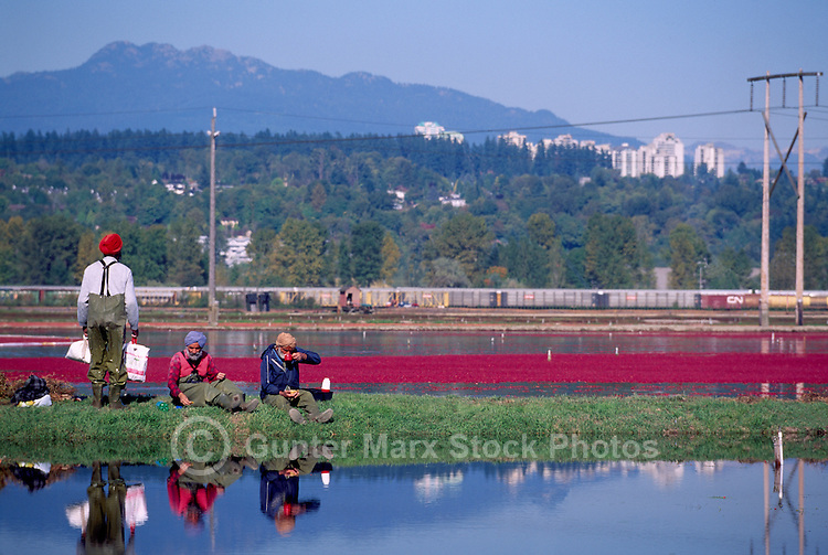Richmond, BC, British Columbia, Canada - East Indian Agricultural Workers taking a Break while harvesting Cranberries (Vaccinium macrocarpon) in Flooded Bog Field on Cranberry Farm