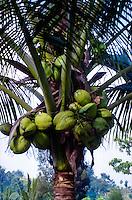 Indonesia, Sumatra. Samosir. Coconuts on the north side of Tuk Tuk