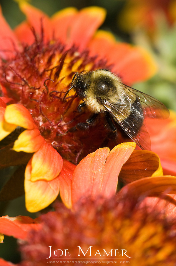 Honeybee (Apis mellifera mellifera) covered in pollen collecting nectar from a brightly colored flower.