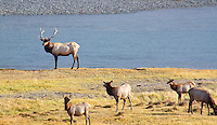 A BULL ELK STANDS TALL NEXT TO HIS HAREM OF FEMALE ELK DURING RUTTING SEASON ALONGSIDE THE YELLOWSTONE RIVER AT YELLOWSTONE NATIONAL PARK,WYOMING
