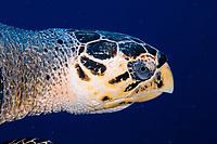 Hawksbill sea turtle (Eretmochelys imbricata), Grand Turk, Turks & Caicos, Caribbean.