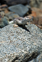 438500005 a wild desert iguana dipsosaurus dorsalis perches on a rock in darwin canyon inyo county california
