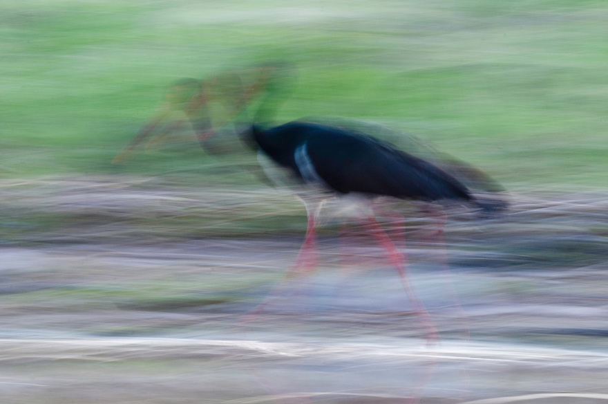 Black Stork blurred (Ciconia Negra), Fisher pond, Prypiat area, Belarus