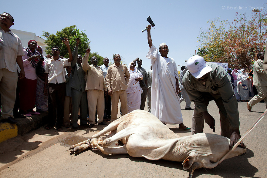 28 april 2010 - Karthoum, Sudan - A cow before being slaughtered during a traditional ritual to honour and bless Sudan's President Omar Hassan al-Bashir at a rally at the Ministry of the Council of Ministers in Khartoum. Sudan's president Omar al-Bashir won another term in office on Monday, according to election officials, with a comfortable majority (68 percent of the vote ) in elections marred by boycotts and fraud allegations, becoming the first leader to be elected while facing an international arrest warrant for alleged crimes he orchestrated in the western region of Darfur. The elections take place as Sudan heads toward a referendum in eight months that could lead South Sudan to split off and become Africa's newest nation. Photo credit: Benedicte Desrus