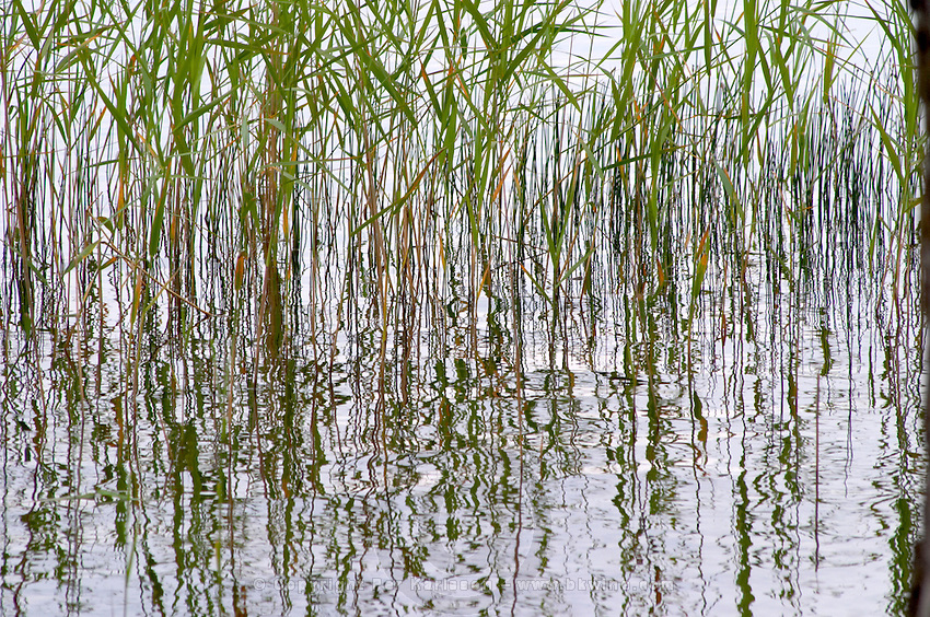 Reeds growing in the water with reflections forming a geometric pattern. Lake Flen, Smaland region. Sweden, Europe.