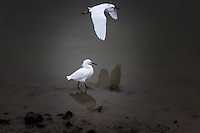 Two Snowy egrets, one flying the other prowling the bank along the San Leandro Marina on San Francisco Bay.