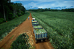 Trailors of freshly picked pineapples are trucked to the local factory.  The very active Poas Volcano can be seen in the background.  Costa Rica is one of the largest exporters of pineapples in the world.