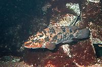 Gefleckter Lippfisch, Labrus bergylta, ballan wrasse