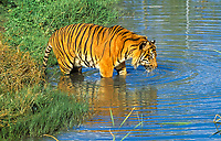 Sumatran tiger, Panthera tigris sumatrae, adult, bathing, critically endangered species, Sumatra, Sunda Islands, Indonesia