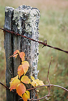 Photo of vine and fencepost