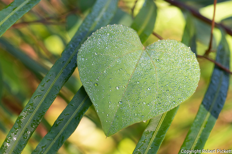 Heart Shaped leaf with water droplets, Sinharaja World Heritage Site, Sri Lanka, in rainforest