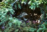 Harlequin duck, Alaska