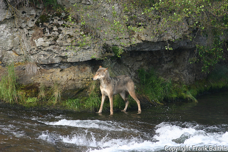 Gray wolf in stream looking for salmon