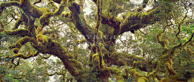 Moss covered tree. Fiordland National Park. New Zealand.